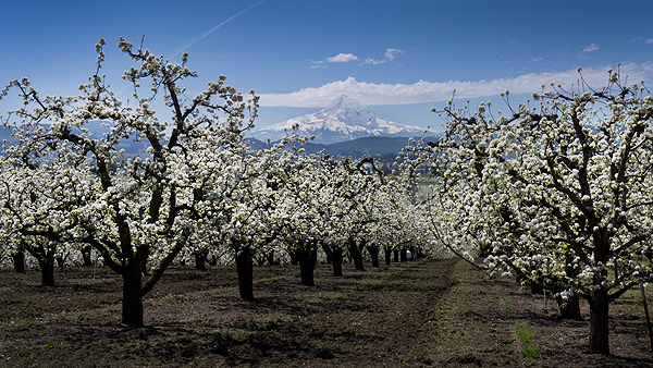 Blossoms and Mt. Hood 4-22-12