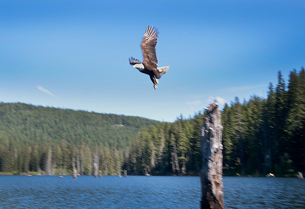 Bald Eagle Takes Flight