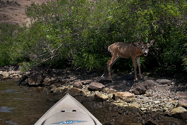 Mule deer on the bank of the John Day River