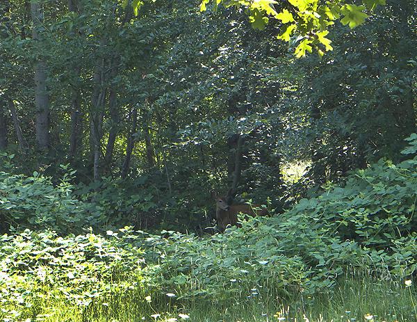 A deer seeking some shelter from the hot summer sun