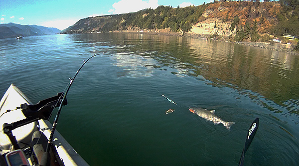 Trolling for chinook salmon