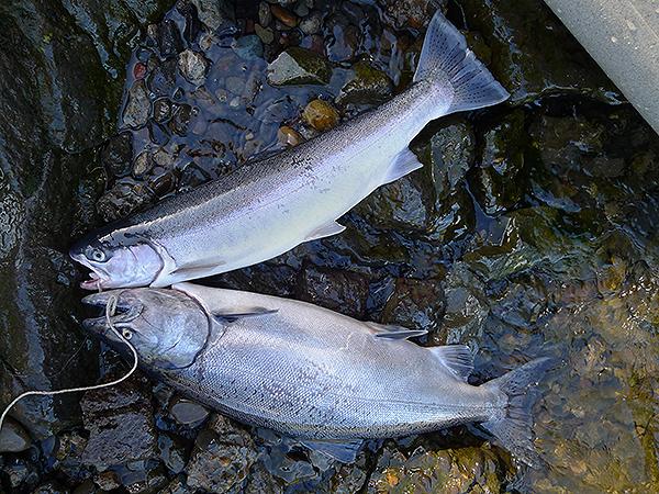Chinook salmon and steelhead caught kayak fishing on the Columbia River