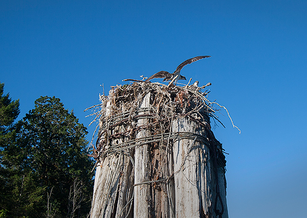 Osprey nest on the Columbia River