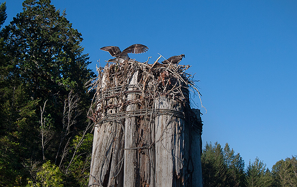 Young osprey ready for first flight