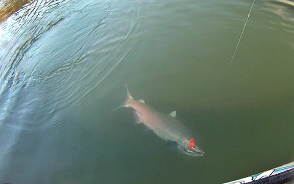 Native Coho salmon kayak fishing on the Columbia River