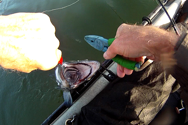 Releasing a native coho salmon kayak fishing on the Columbia River