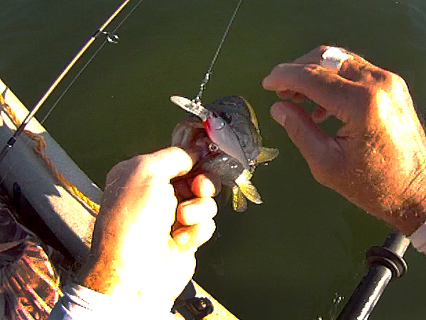 Smallmouth bass caught with a Berkley Flicker Shad crankbait