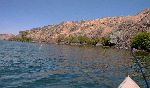 Jumping smallmouth bass kayak fishing on the Columbia River in eastern Washington