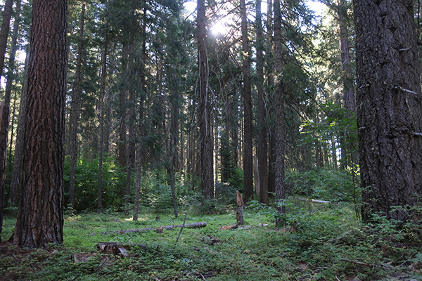 Early morning sunshine in Gifford Pinchot National Forest