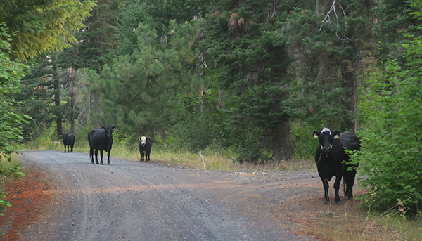 Cooler weather made the wildlife and grazing cattle more active