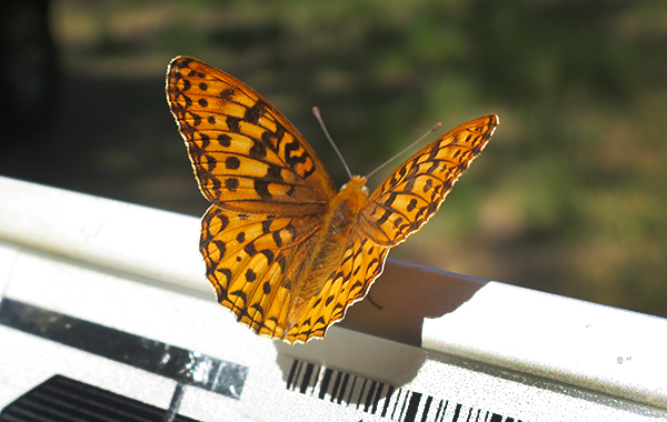 Cascade Mountain butterfly