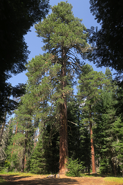 A very large tree in the Gifford Pinchot National Forest