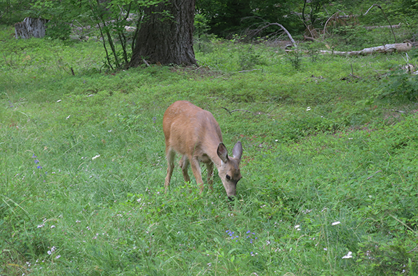 Young deer by morning campsite