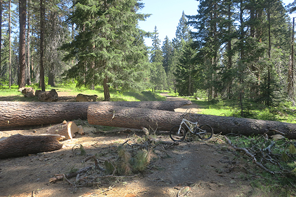 Forest Service road closed by giant blown down tree