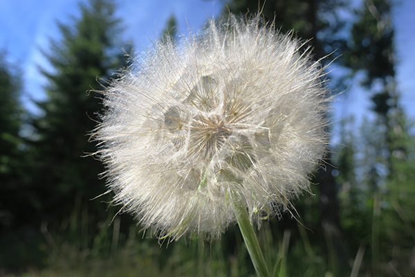 Thistle flower Cascade Mountains