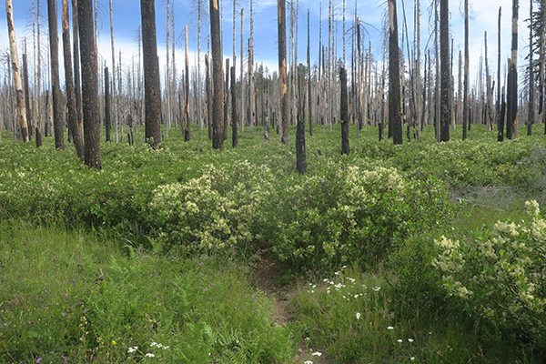 Trail disappears into thick bushes in burned out forest