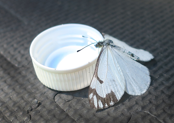 Thirsty Cascade Mountain butterfly