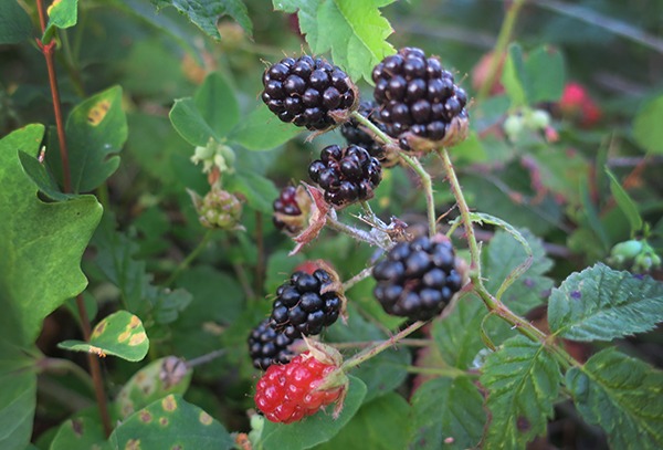Wild Cascade Mountain blackberries