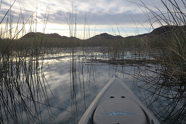 Backwater reeds in the Colorado River provide fish with cover