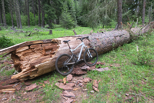 Large fallen pine tree in the Cascade Mountains