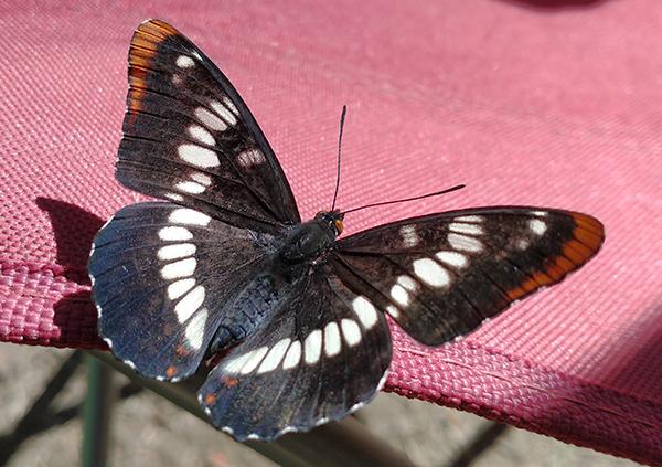 Cascade Mountain butterfly 6-28-21