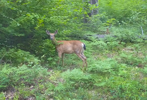 Cascade Mountain deer 7-5-21
