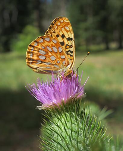 Cascade Mtn butterfly