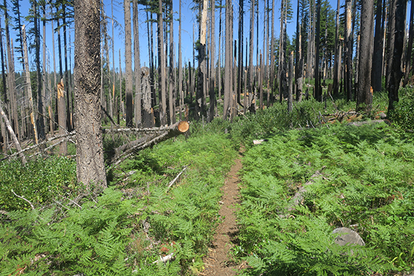 Mountain trail through burned out forest and green ferns