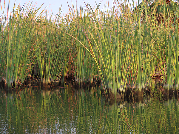 Colorado River reeds showing river water level drop